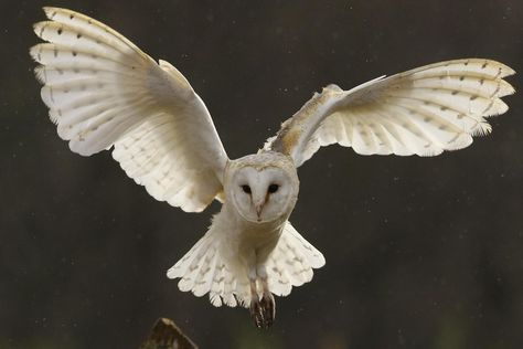 A majestic barn owl in flight, the most widespread of all owls in North America and the purebred of the Tyto family, Tyto Alba. The Animals, Beautiful Owl, Animals Beautiful, Tyto Alba, Owl Box, Owl Wings, Nocturnal Birds, Tier Fotos, Snowy Owl
