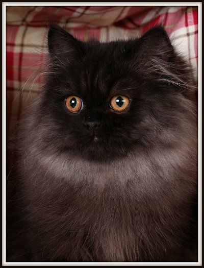 Black Persian Kittens For Sale Black Kittens Black Persian