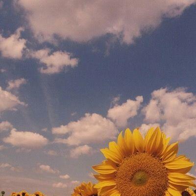55 Best Bunga Matahari Images Sunflower Wallpaper Aesthetic