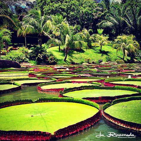 Santa Cruz.Bolivia - I'm going here on Wednesday! Record holder for most gigantic lily pad.