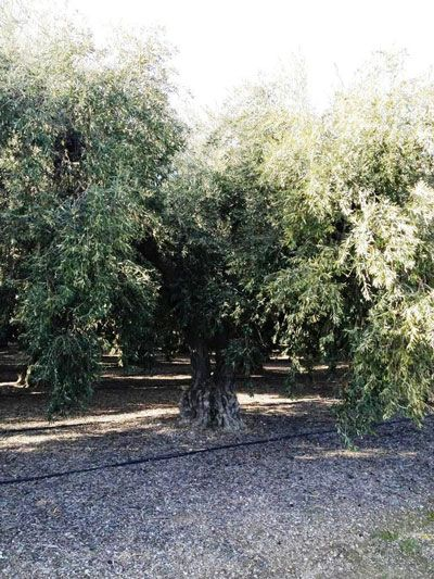 Olive Tree Farm Nursery Careful