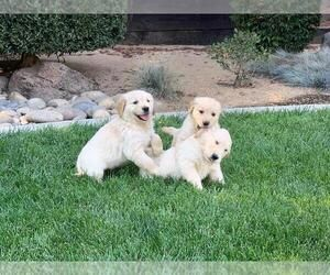 View Ad English Cream Golden Retriever Litter Of Puppies For Sale