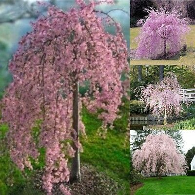 20pc Pink Fountain Weeping Cherry Tree Seeds Garden Dwarf Tree Suitable For Yard Weeping Cherry Tree Dwarf Trees Tree Seeds