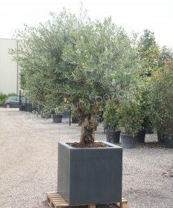 Olivenbaum 50 60 Cm Stammumfang Als Kurzstamm Im Isolierten Gfk