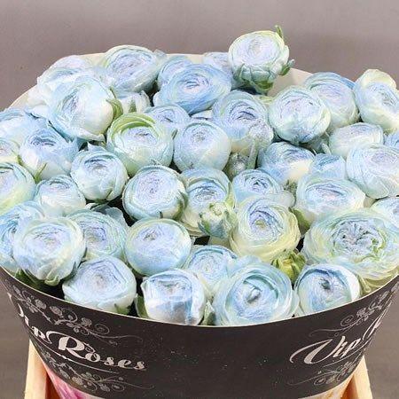 Ranunculus Dyed Marshmallow Blue Ex 40cm Wholesale Dutch Flowers Florist Supplies Uk Florist Supplies Blue Ex Flower Clubs
