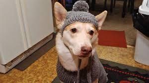 Image Result For Markie Garcia Crochet Hat For Large Dog Dog Sweater Crochet Pattern Large Dog Sweaters Dog Sweater Pattern