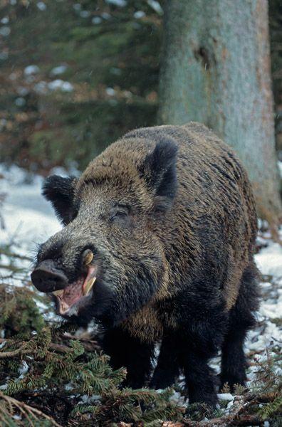 Perfect Wildschweinkeiler im Schnee sucht entspannt nach Nahrung Schwarzkittel Wildschwein Sus scrofa Wild Boar tusker in snow searching for food u