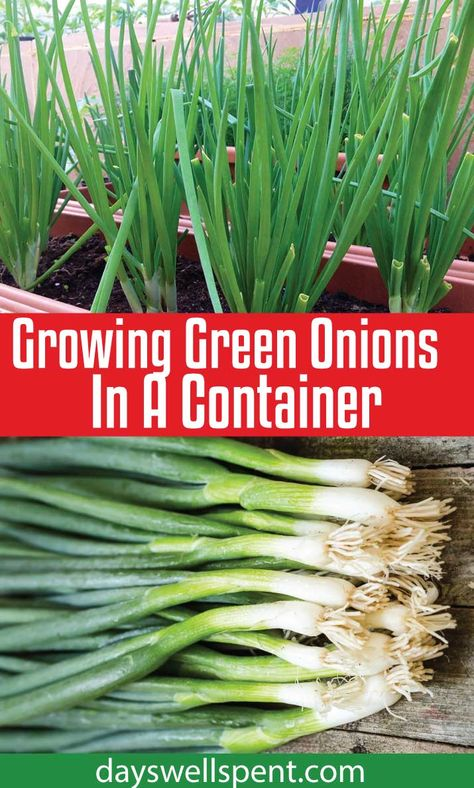 Gardening DIY Growing green onions in a container is easy, doesn't require much room and they can be grown year-round. In today's post and video, we'll cover what you need to know to grow green onions in a container successfully! Planting Green Onions, Green Onions Growing, Growing Greens, Growing Veggies, Growing Irises, Growing Plants, Growing Peppers, Growing Tomatoes, Container Gardening Vegetables
