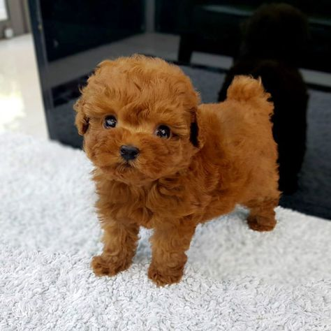 Teacup Poodle Puppies For Sale | SunShine TeaCup Puppies Home