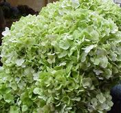 Bulk Hydrangea - Green.  Starting at $154.95.  Common Name: Hydrangea, Big-leaf Hydrangea, Garden Hydrangea, Hortensia    Description: Small, star shaped blossoms clustered together to form a rounded head up to 6 inches in diameter. The stems, with several large leaves, grow 16-20 inches long.