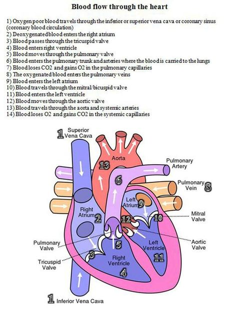 10 Facts About The Human Heart Studies Pinterest Human Heart