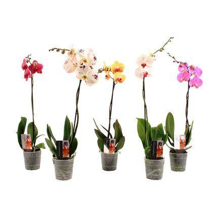 Falenopsis Cmowka Storczyk Phalaenopsis Sp Kupuj W Obi Phalaenopsis Plants Obi