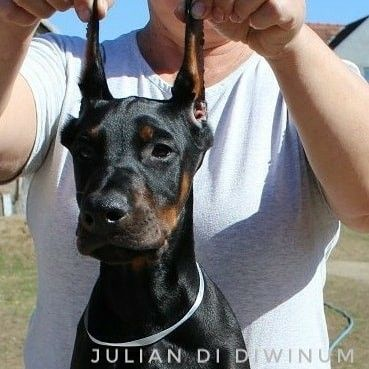 Welpen Kupiert Kaufen Doberman Kennel Dogs