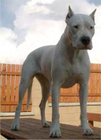 Dogo Argentino Boxer Mix