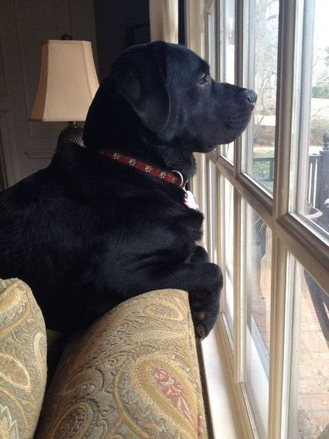 Labrador Retriever They would spend their lives waiting for us if we never came home again.what special beings they are. Black Lab Puppies, Cute Puppies, Cute Dogs, Dogs And Puppies, Labrador Puppies, Corgi Puppies, Beautiful Dogs, Animals Beautiful, Black Labrador Retriever