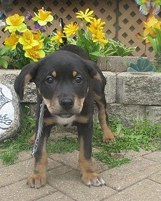 West Chicago Il Australian Shepherd Meet Ty A Pet For Adoption Australian Shepherd Pet Adoption Pets