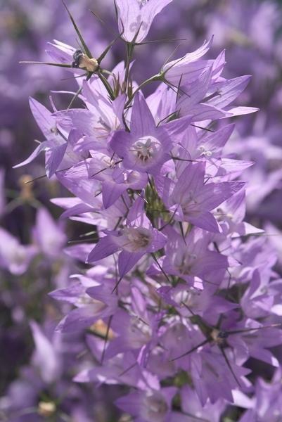 Campanula Rapunculus Heavenly Blue Summer Flowers Seasonal Flowers Campanula