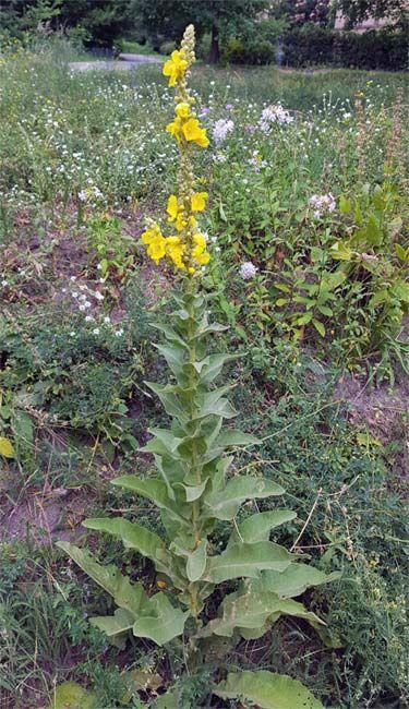 Konigskerze Verwendung Wirkung Und Anbau In 2020 Konigskerze Heilpflanzen Gewurze Und Krauter