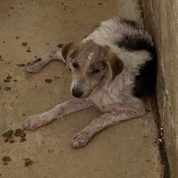 Edinburg Tx Shepherd Unknown Type Meet 41778916 A Pet For