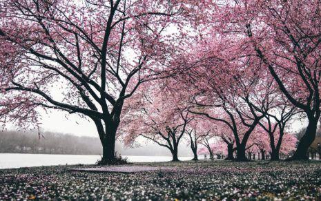 Japan Sakura Wallpaper Hd Cherry Blossom Wallpaper Volcano Wallpaper Good Morning Images Cherry blossom wallpaper hp