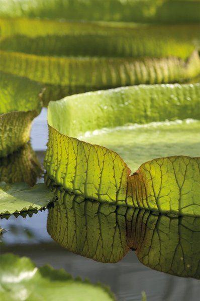 Victoria amazonica. Giant Amazonian Waterlily -- Andrew McRobb -- Kew Gardens Botanical Prints