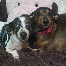 Pin By The Wooden Frog On Adoption Dachshund Adoption Pet