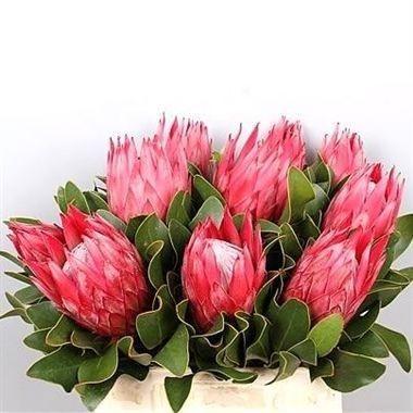 Pin On Proteas