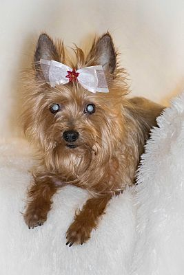 Pictures Of Ellie A Special Needs 9 Yr Old Female Yorkshire Terrier For Adoption At Yorkie Haven Yorkshire Terrier Yorkie Yorkshire Terrier Puppies