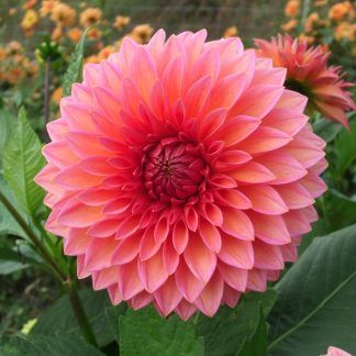 Dahlia Hillcrest Kismet Flower Meanings Tropical Flowers Flowers