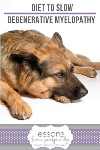 Degenerative Myelopathy Dogs Have New Options And Diet Dogs Paralyzed Dog Dog Diet