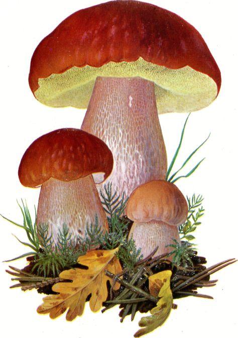 зоне белый гриб рисунок картинка виза