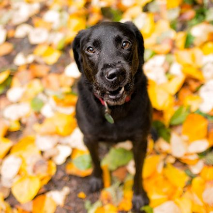 Doggy Dan S Kind Gentle Dog Training Method Labrador Retriever Dog Photograph Dogs