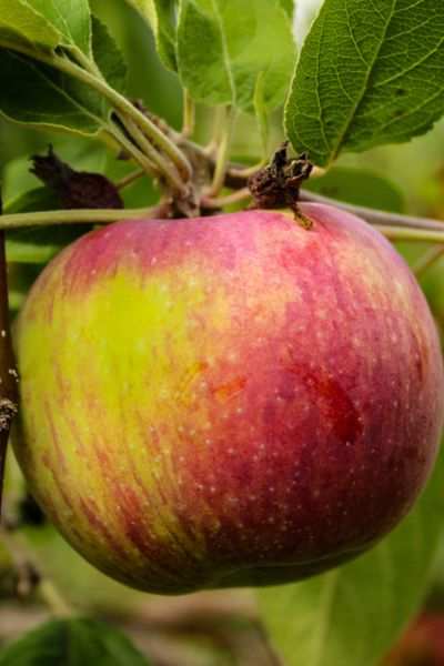 How To Plant Fruit Trees And Why Fall Is The Best Time To Plant Fruit Trees Dwarf Fruit Trees Fruit Trees Backyard