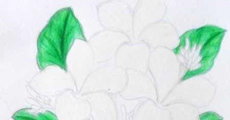 Fantastis 16 Gambar Sketsa Bunga Serta Warna Menggambar Bunga Kamboja Menggunakan Pensil Warna Gambar Mewarnai Lebah Madu Me Sketsa Bunga Bunga Gambar Bunga