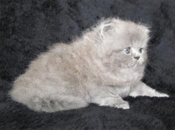 Persian And Himalayan Kittens For Sale St Louis Missouri Himalayan Kittens For Sale Himalayan Kitten Persian Cat