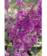 Oklahoma Redbud (Cercis canadensis var. texensis 'Oklahoma') - Monrovia - Oklahoma Redbud (Cercis canadensis var. texensis 'Oklahoma')