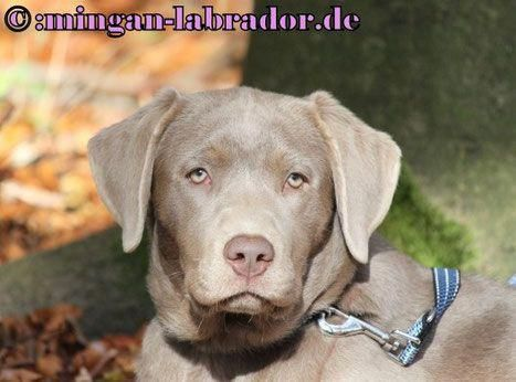 Labrador Of The Day Labradoroftheday Instagram Posts Videos Stories On Webstaqram Com Labrador Retriever