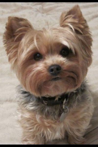 This Yorkie Looks Like My Callie Yorkie Dogs Yorkie Puppy