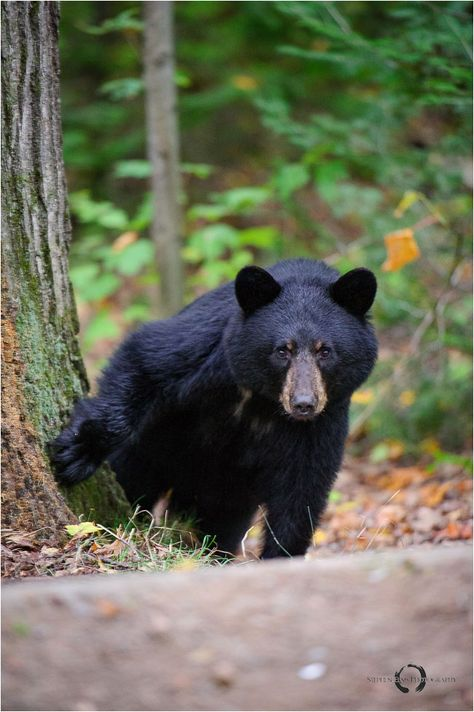 Black bear in Algonquin Park by Stephen Elms ©    In 2011 this bear had visit us at our camp site at 4:00 am.