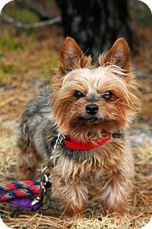 Manahawkin Nj Yorkie Yorkshire Terrier Mix Meet Mickey A Dog For Adoption Yorkshire Terrier Pets Terrier Mix