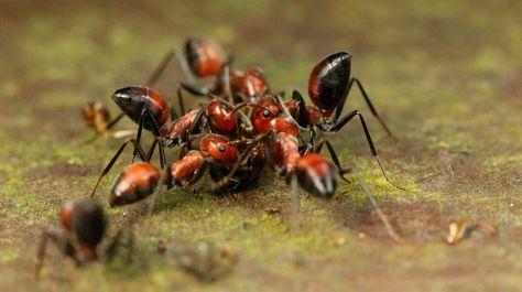 Como Acabar Con Las Hormigas En Mi Cocina Explosion Controlada El Curioso Metodo Defensivo De La Hormiga
