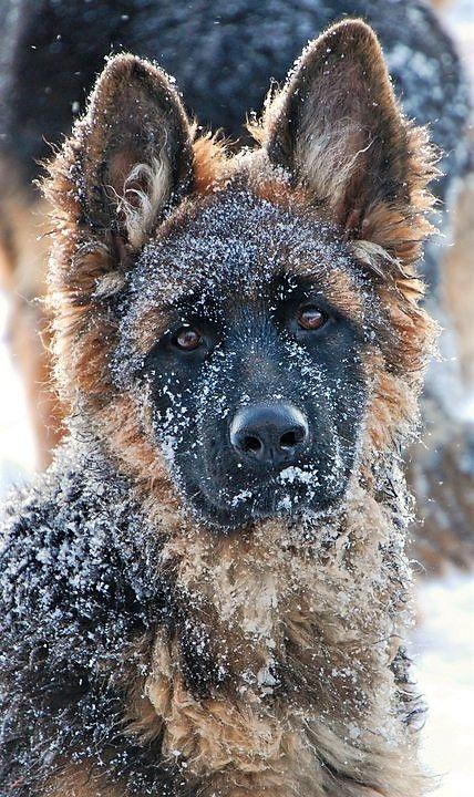 4 Month Old Female Long Coat German Shepherd Puppy By Grunwald