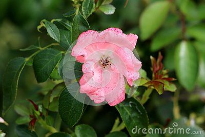 Small Pink Rose With Small Spots Missing Most Of Petals Surrounded With Dark Green Leaves In Local Garden Green Leaves Petals Pink Rose