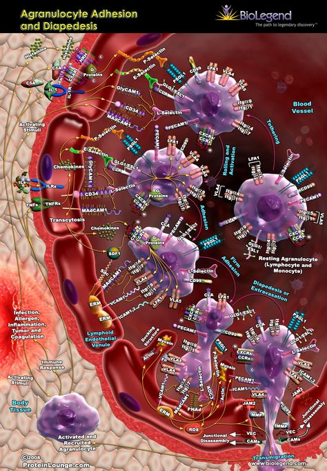 Agranulocyte Adhesion and Diapedesis