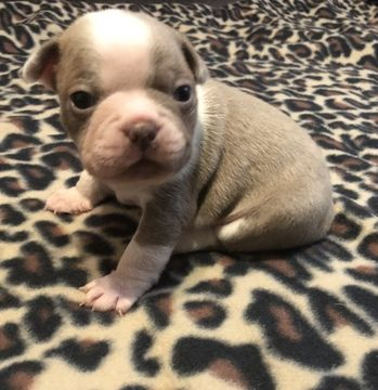 Litter Of 7 Boston Terrier Puppies For Sale In Bella Vista Ar
