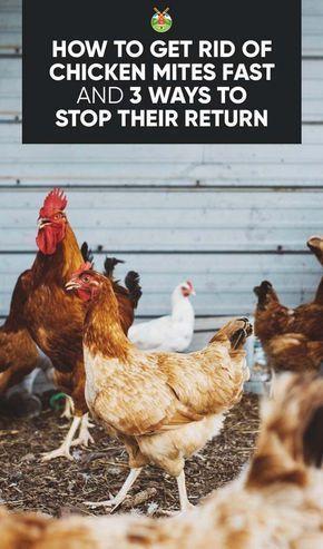3 Ways To Get Rid Of Chicken Mites Fast And Stop Their Return Urban Chicken Farming Chickens Backyard Chicken Diy