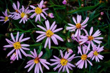 Sea Aster Uk Plant Fungus Plants Wild Plants
