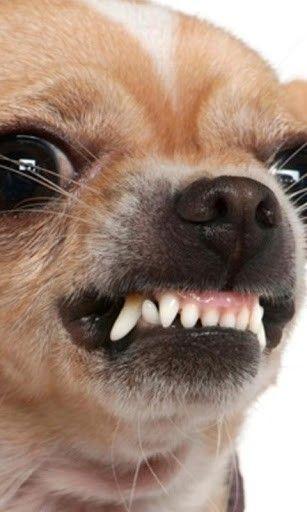 Chihuahua Wallpaper Free Download Cute Dog Wallpaper Chihuahua Dog Wallpaper