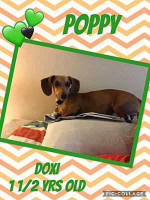 Benton La Dachshund Meet Meelo A Dog For Adoption Dachshund