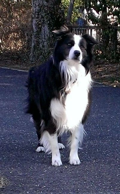 My Cullie Boy Loving Spring Collie Dog Border Collie Dog Collie